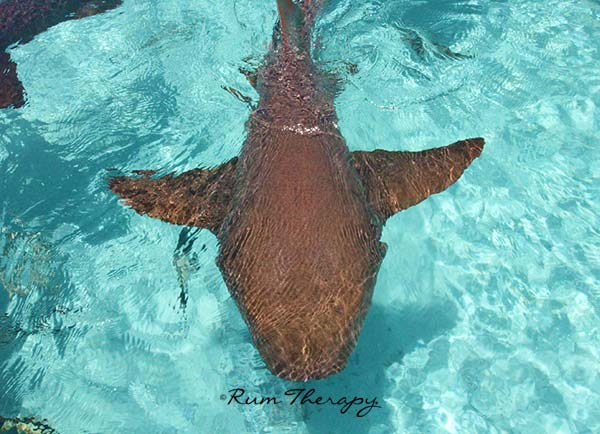 Swimming With Sharks on Compass Cay – Rum Therapy